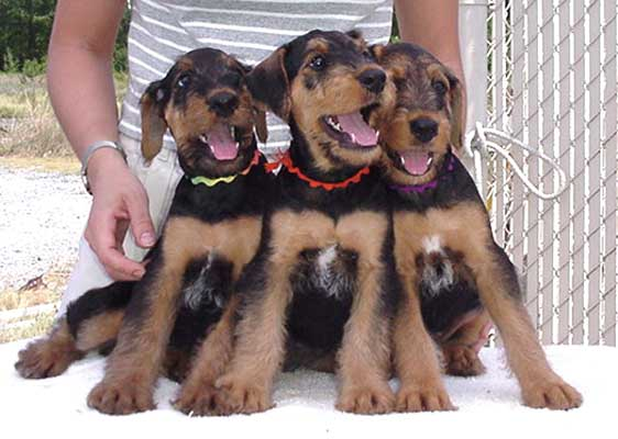 Joval Airedales Homepage Breeder Of Top Quality Airedale Terriers